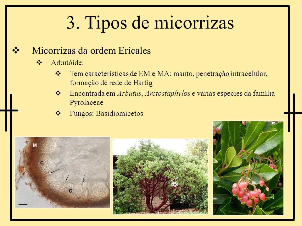 3. Tipos de micorrizas Micorrizas da ordem Ericales Arbutóide: