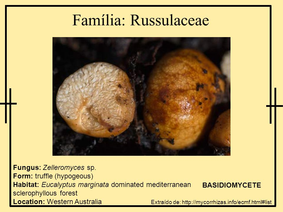 Família: Russulaceae