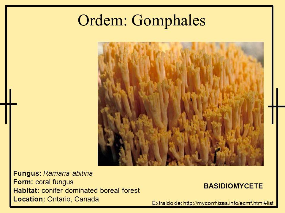Ordem: Gomphales Fungus: Ramaria abitina Form: coral fungus Habitat: conifer dominated boreal forest Location: Ontario, Canada.