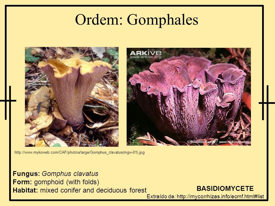 Ordem: Gomphaleshttp://www.mykoweb.com/CAF/photos/large/Gomphus_clavatus(mgw-01).jpg.