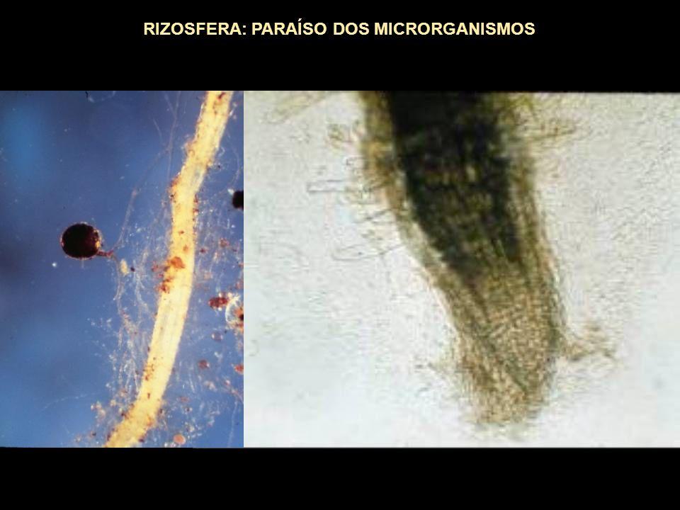 RIZOSFERA: PARAÍSO DOS MICRORGANISMOS