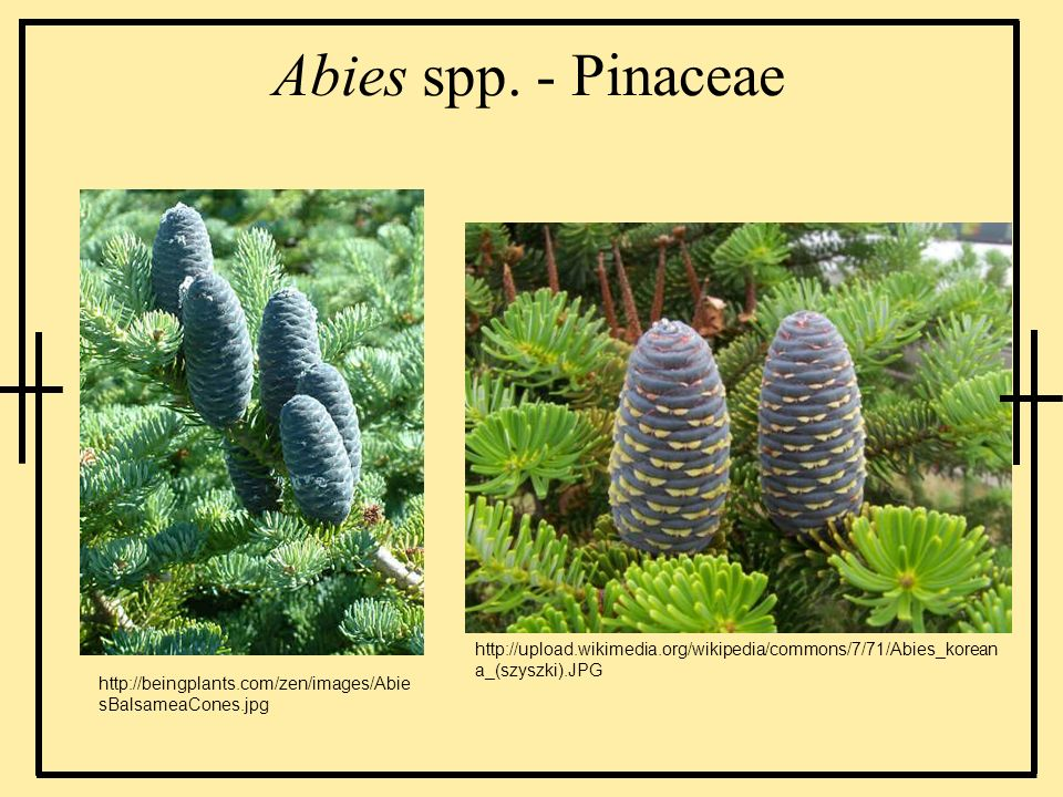 Abies spp. - Pinaceaehttp://upload.wikimedia.org/wikipedia/commons/7/71/Abies_koreana_(szyszki).JPG.
