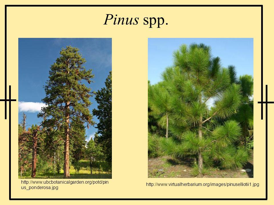 Pinus spp. http://www.ubcbotanicalgarden.org/potd/pinus_ponderosa.jpg
