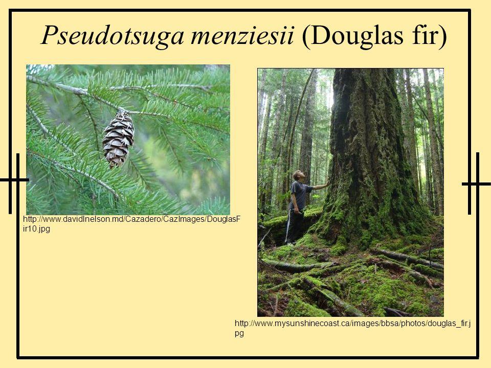 Pseudotsuga menziesii (Douglas fir)
