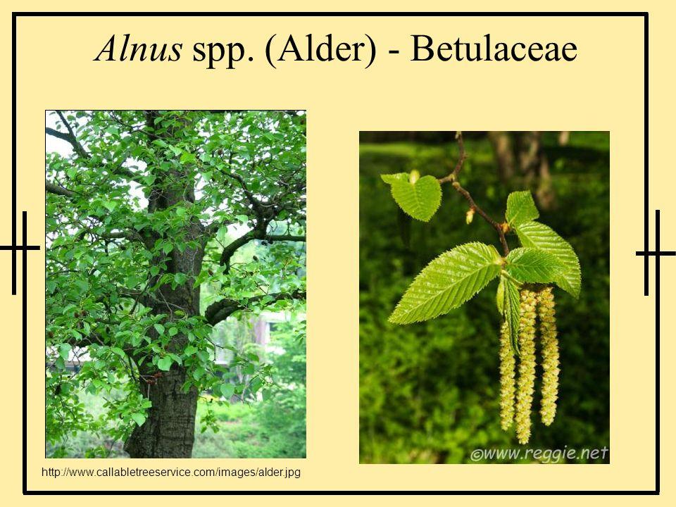 Alnus spp. (Alder) - Betulaceae