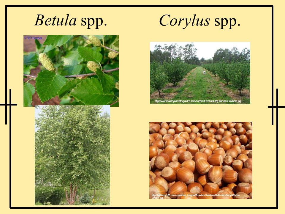 Betula spp.Corylus spp. http://www.mooseyscountrygarden.com/hazelnut-orchard/dog-hazelnut-orchard.jpg.