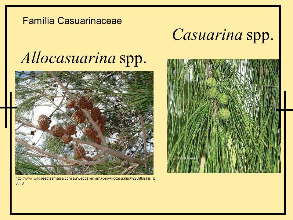 Casuarina spp. Allocasuarina spp. Família Casuarinaceae