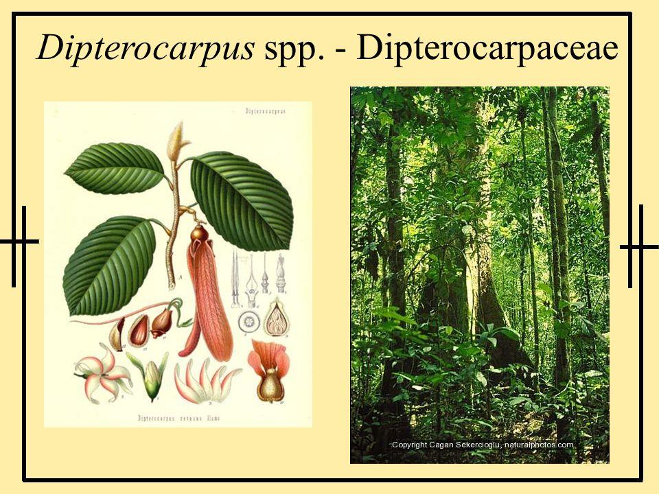 Dipterocarpus spp. - Dipterocarpaceae