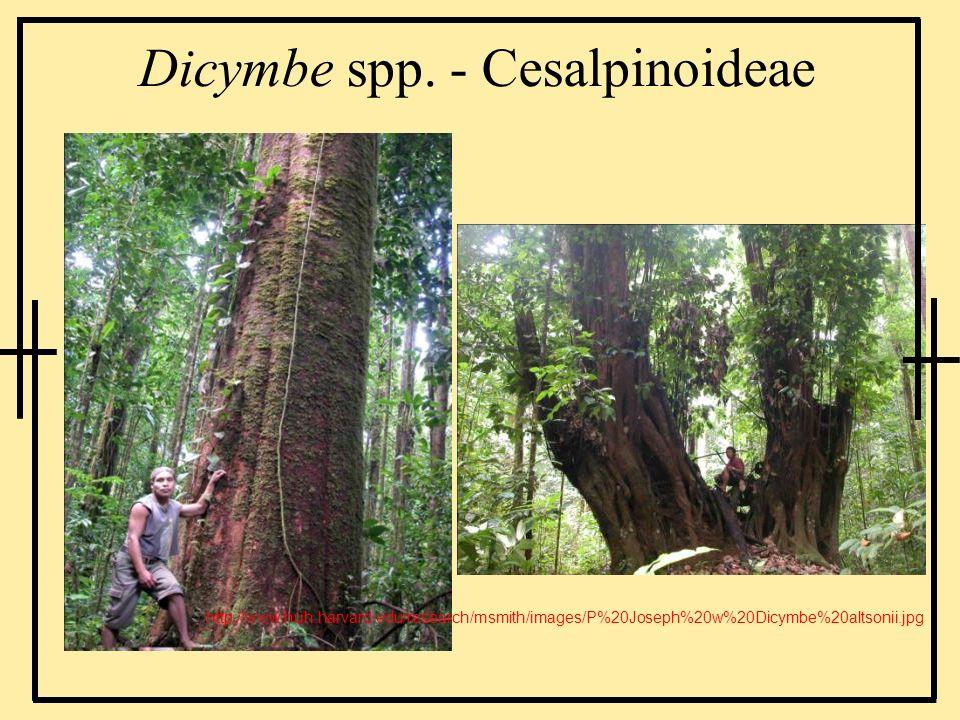 Dicymbe spp. - Cesalpinoideae