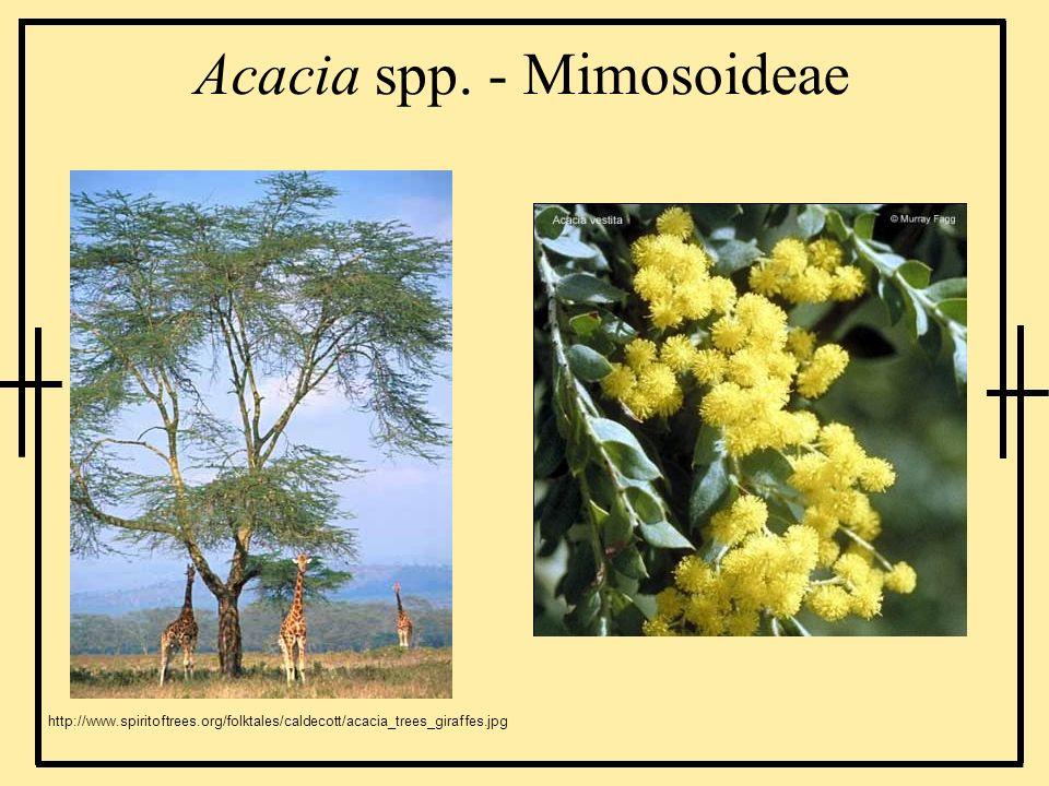 Acacia spp. - Mimosoideae