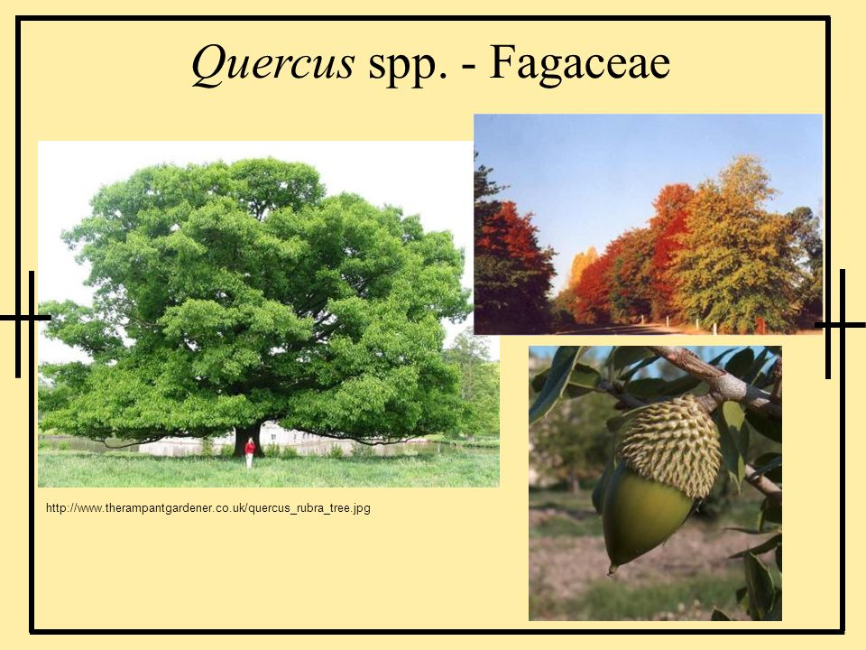 Quercus spp. - Fagaceae http://www.therampantgardener.co.uk/quercus_rubra_tree.jpg