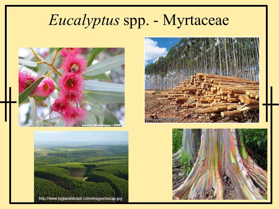 Eucalyptus spp. - Myrtaceae