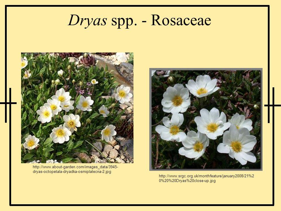 Dryas spp. - Rosaceae http://www.about-garden.com/images_data/3945-dryas-octopetala-dryadka-osmiplatecna-2.jpg.