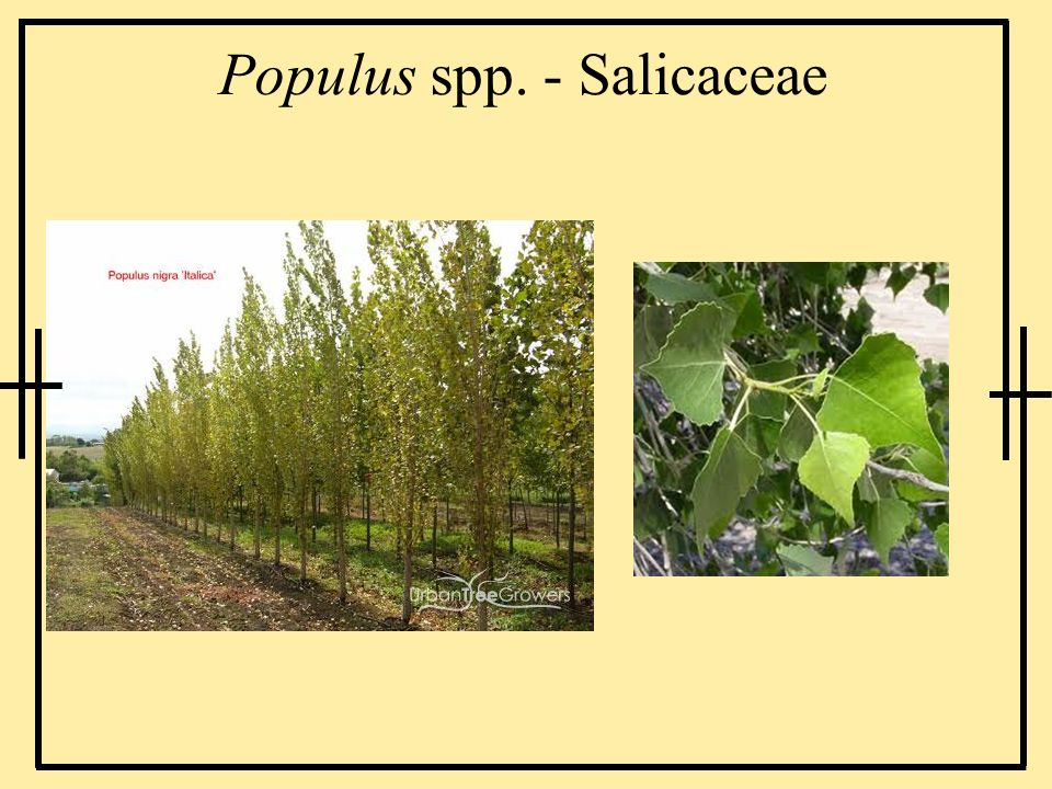 Populus spp. - Salicaceae