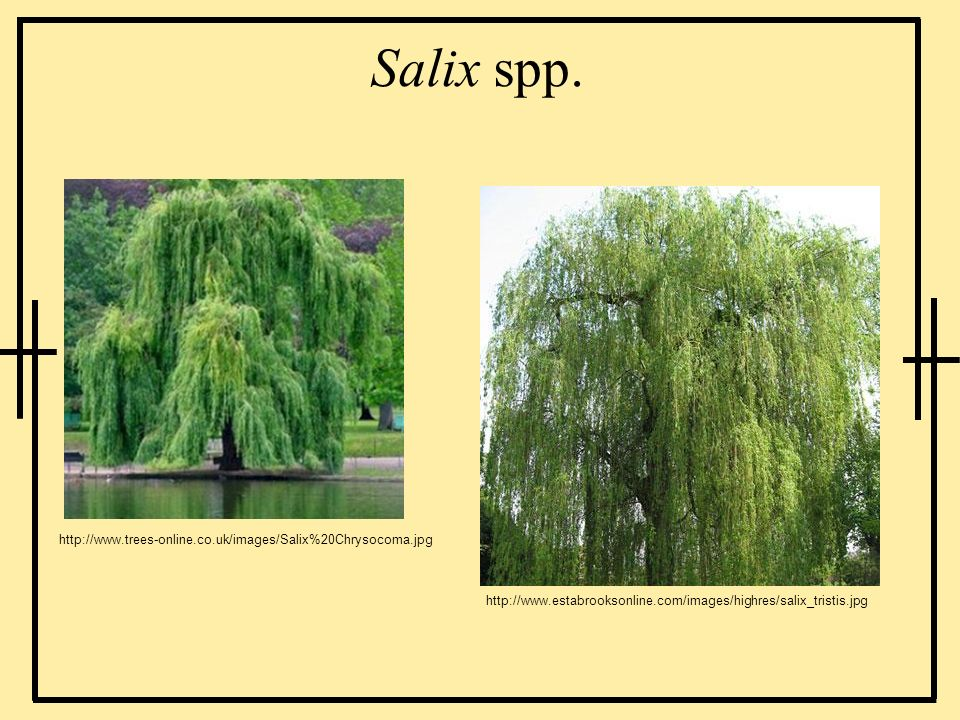 Salix spp. http://www.trees-online.co.uk/images/Salix%20Chrysocoma.jpg