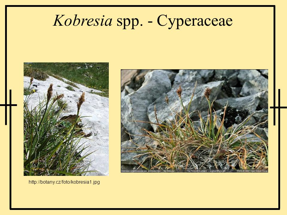 Kobresia spp. - Cyperaceae