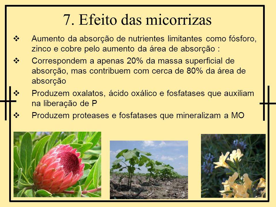 7. Efeito das micorrizasAumento da absorção de nutrientes limitantes como fósforo, zinco e cobre pelo aumento da área de absorção :
