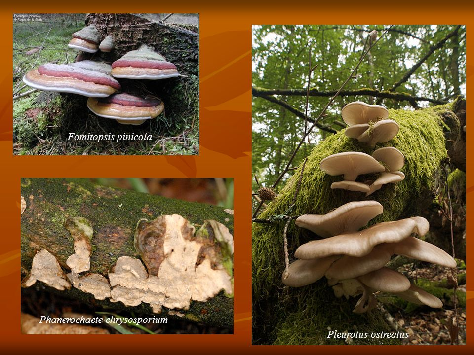 Fomitopsis pinicola Phanerochaete chrysosporium Pleurotus ostreatus