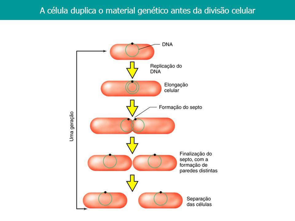 A célula duplica o material genético antes da divisão celular