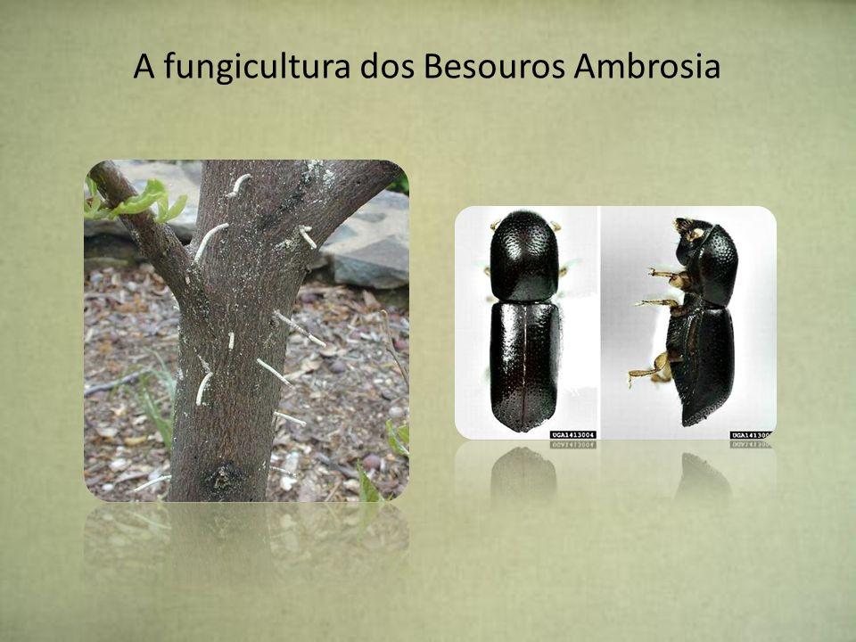 A fungicultura dos Besouros Ambrosia