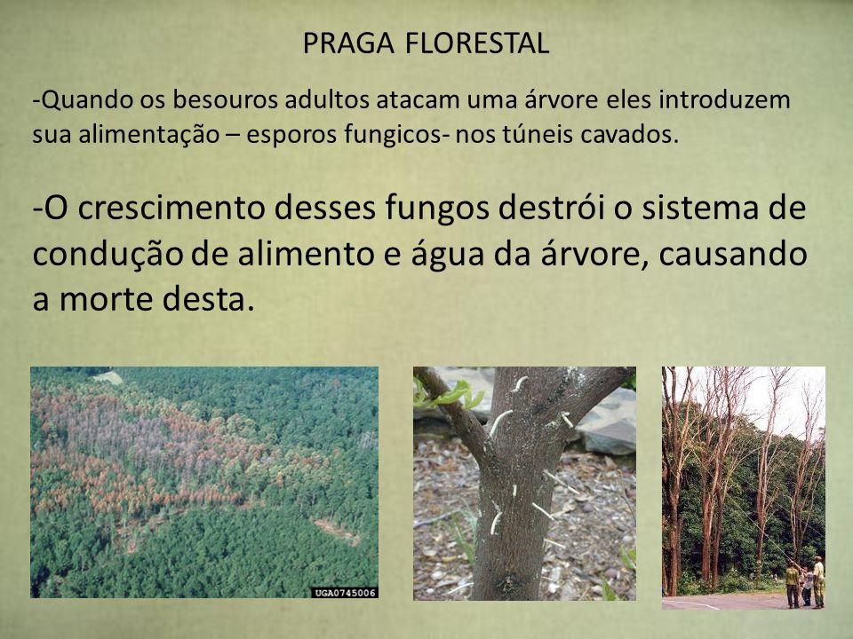 PRAGA FLORESTAL Quando os besouros adultos atacam uma árvore eles introduzem sua alimentação – esporos fungicos- nos túneis cavados.