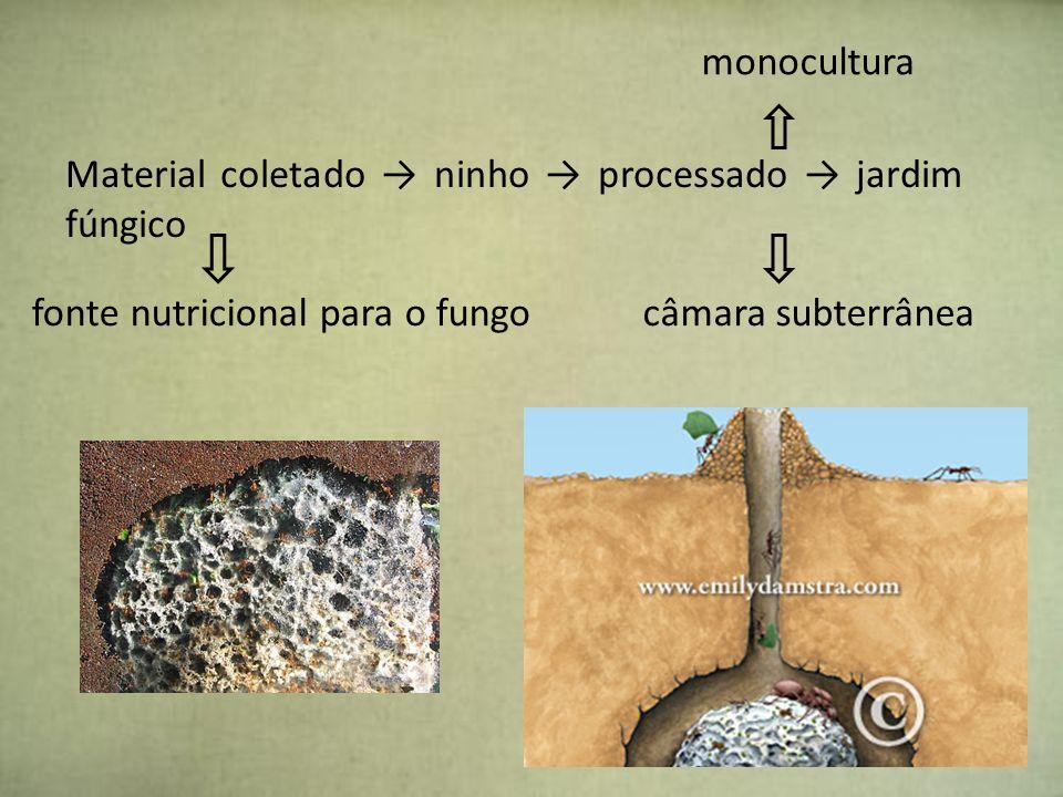 monoculturaMaterial coletado → ninho → processado → jardim fúngico. fonte nutricional para o fungo.