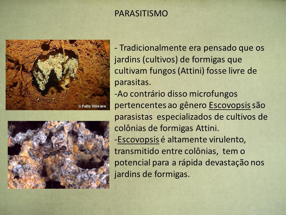 PARASITISMOTradicionalmente era pensado que os jardins (cultivos) de formigas que cultivam fungos (Attini) fosse livre de parasitas.