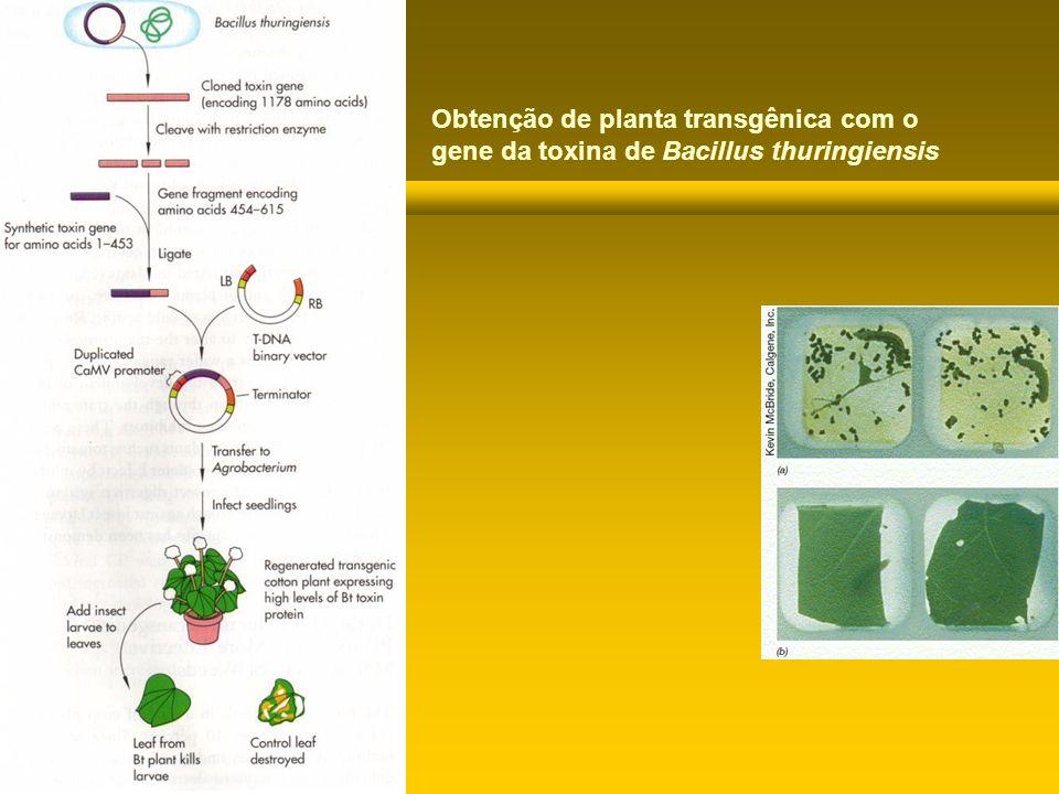 Obtenção de planta transgênica com o gene da toxina de Bacillus thuringiensis