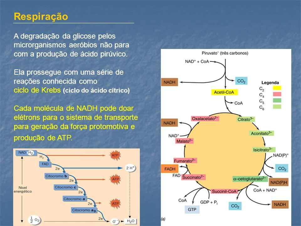 Respiração A degradação da glicose pelos microrganismos aeróbios não para com a produção de ácido pirúvico.