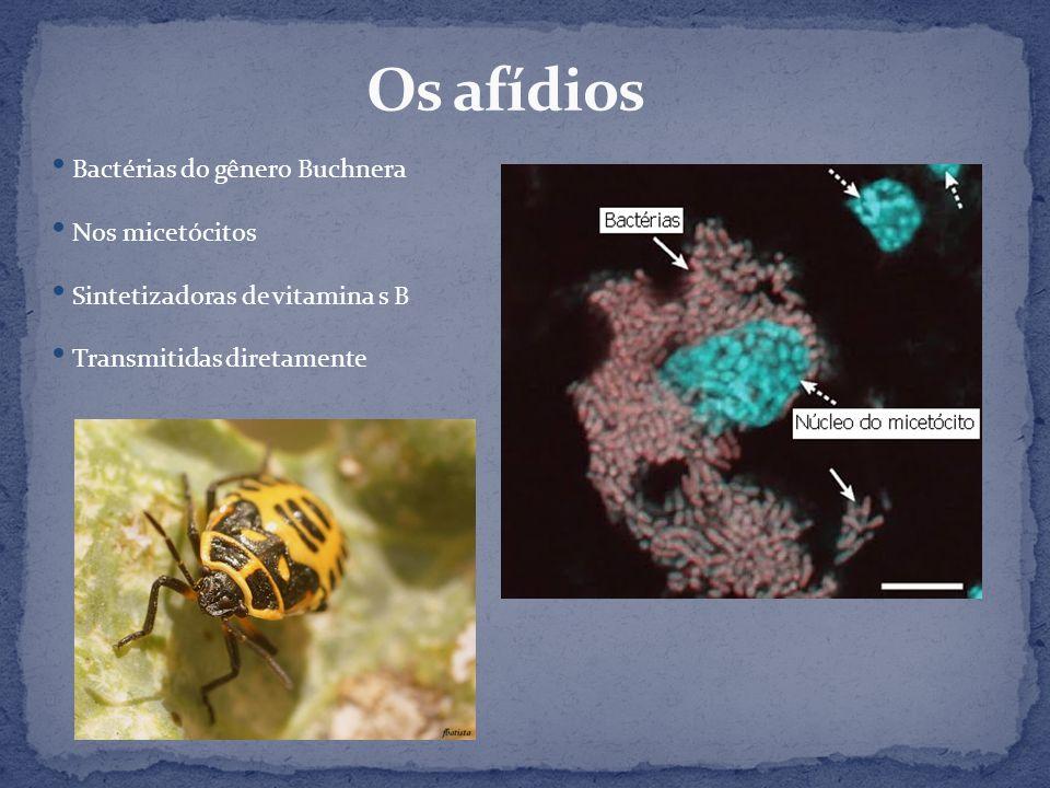 Os afídios Bactérias do gênero Buchnera Nos micetócitos