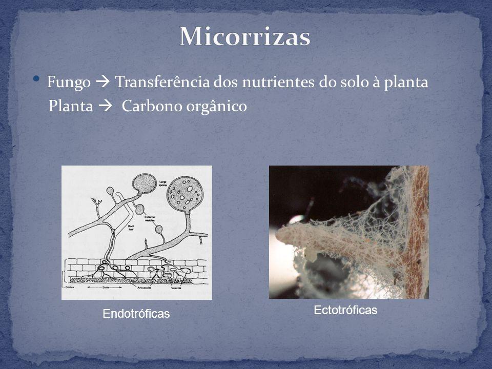 Micorrizas Fungo  Transferência dos nutrientes do solo à planta