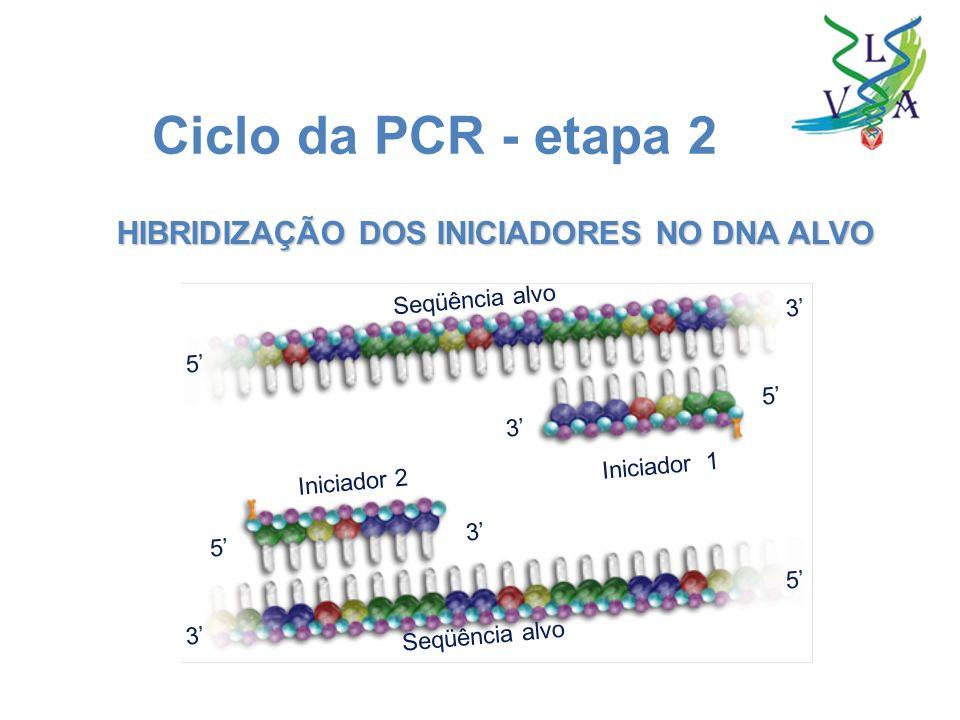 HIBRIDIZAÇÃO DOS INICIADORES NO DNA ALVO