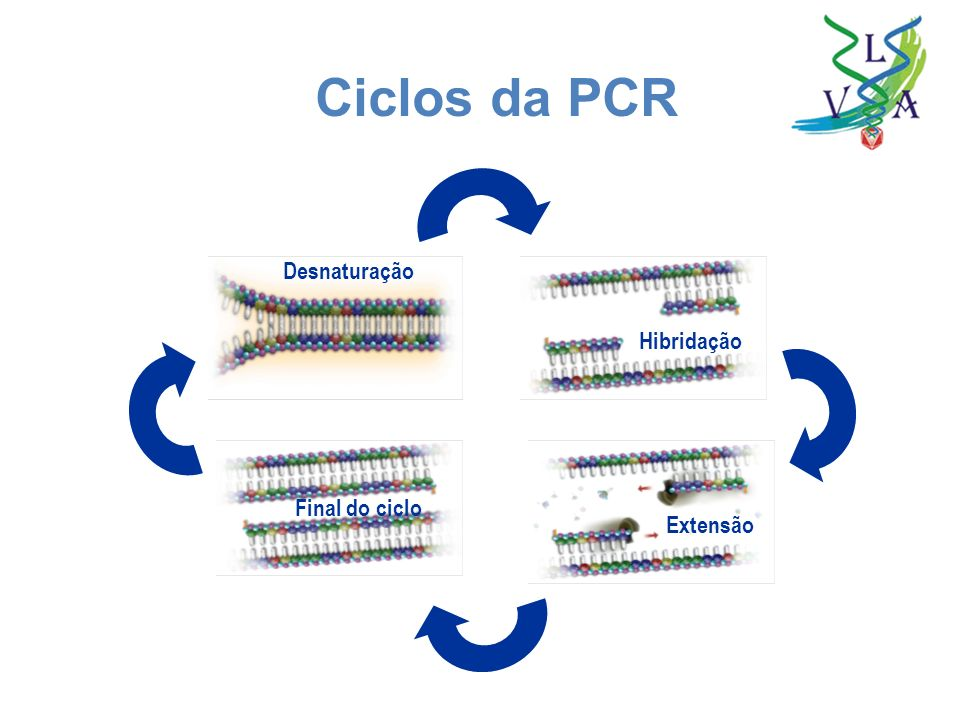 Ciclos da PCR Desnaturação Hibridação Final do ciclo Extensão