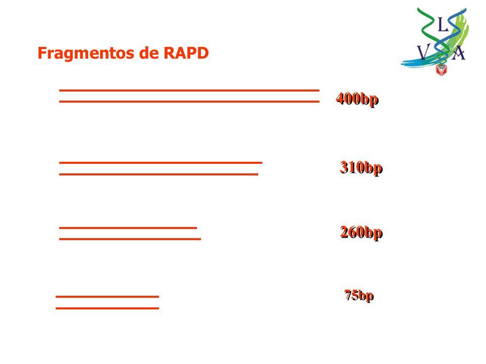 Fragmentos de RAPD 400bp 310bp 260bp 75bp