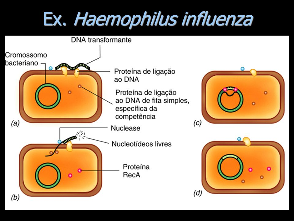 Ex. Haemophilus influenza