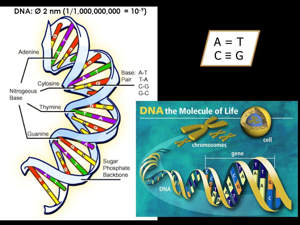 DNA: Ø 2 nm (1/1,000,000,000 = 10-9) A = T C ≡ G