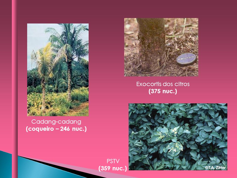 Exocortis dos citros (375 nuc.) Cadang-cadang (coqueiro – 246 nuc.) PSTV (359 nuc.)