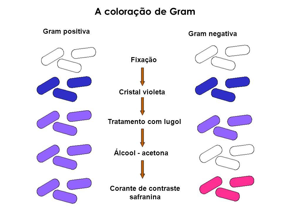 A coloração de Gram Gram positiva Gram negativa Fixação