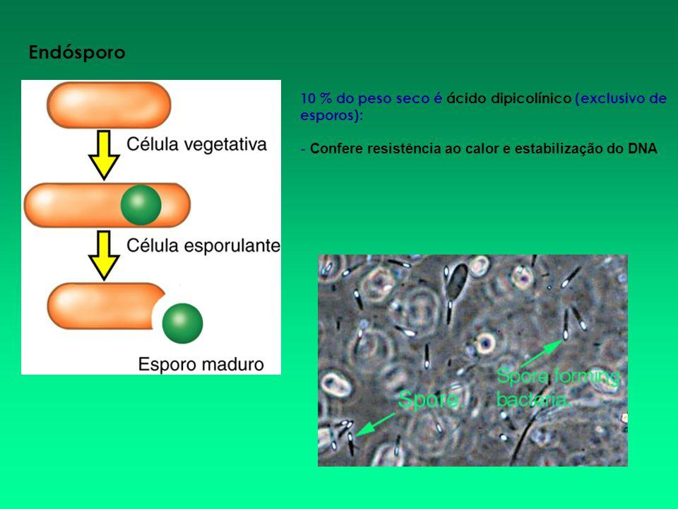 Endósporo10 % do peso seco é ácido dipicolínico (exclusivo de esporos): - Confere resistência ao calor e estabilização do DNA.