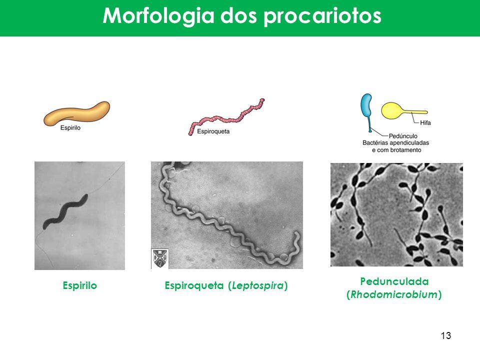 Morfologia dos procariotos