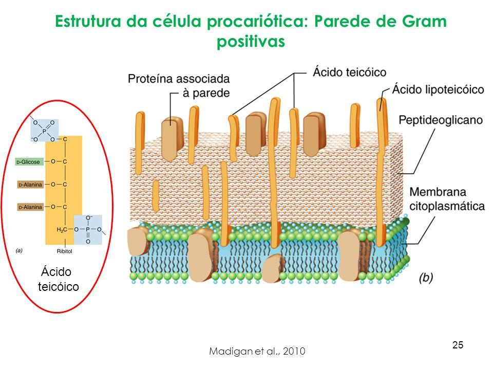 Estrutura da célula procariótica: Parede de Gram positivas