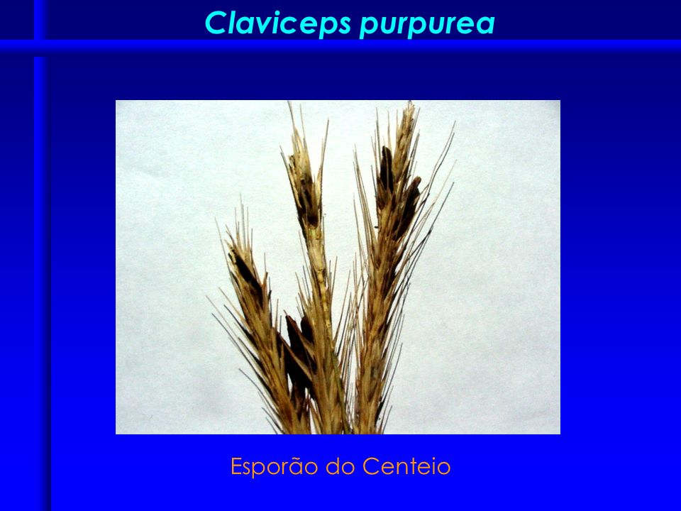 Claviceps purpurea Esporão do Centeio