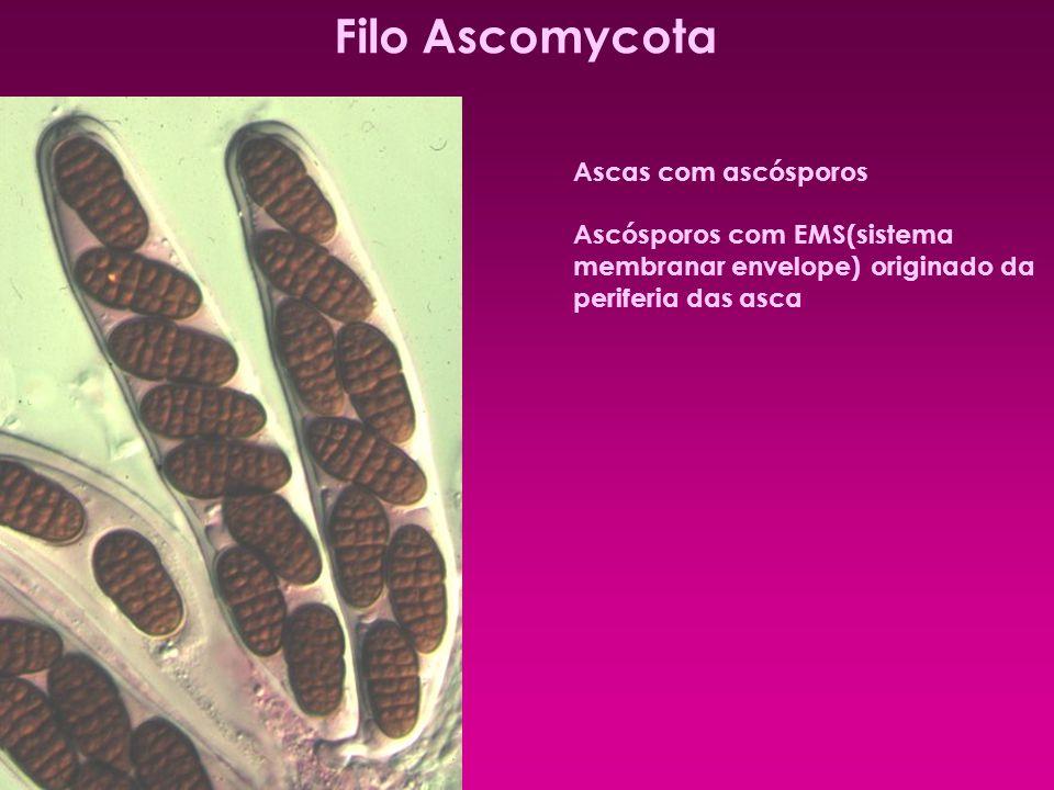 Filo Ascomycota Ascas com ascósporos Ascósporos com EMS(sistema