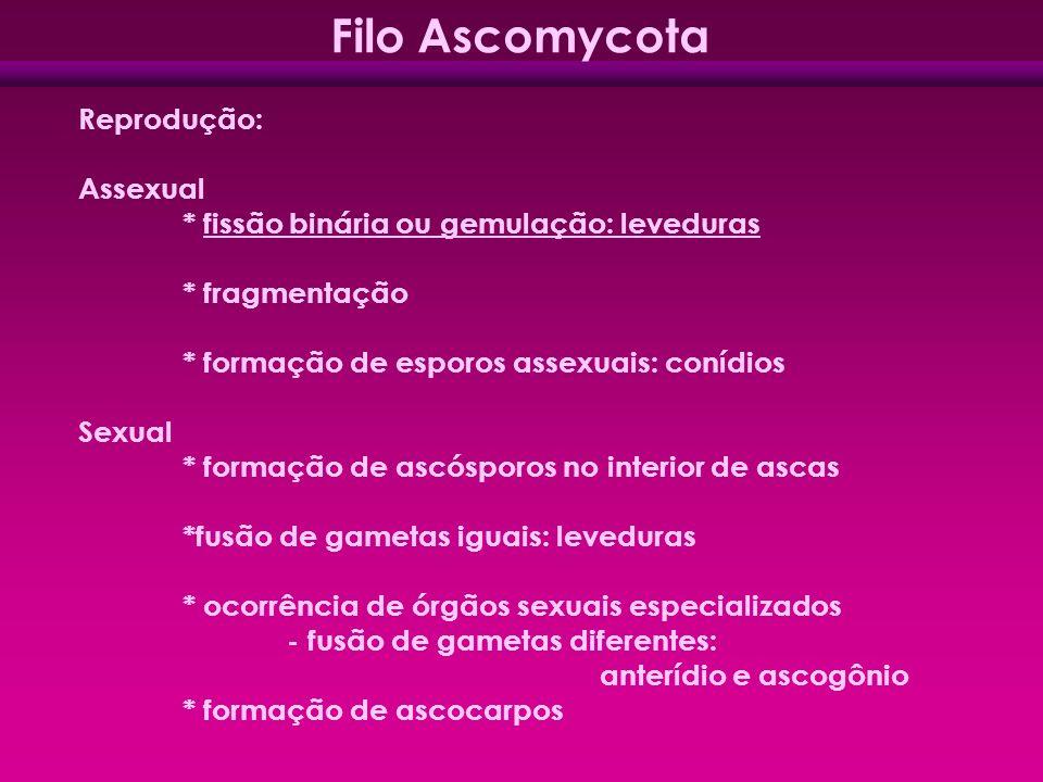 Filo Ascomycota Reprodução: Assexual