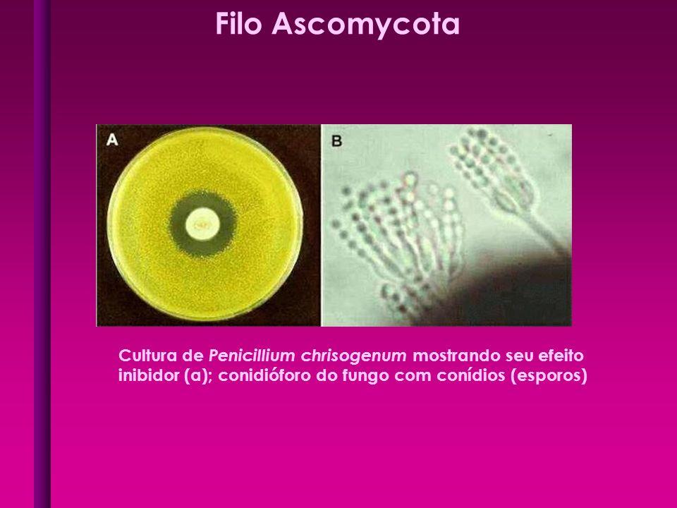 Filo Ascomycota Cultura de Penicillium chrisogenum mostrando seu efeito.