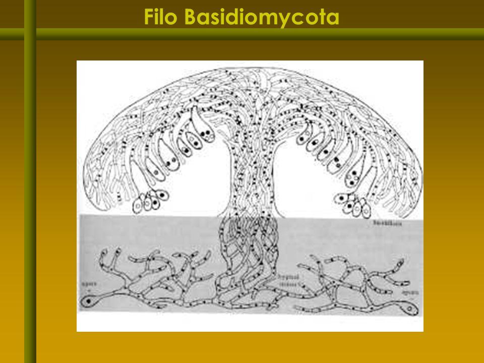 Filo Basidiomycota