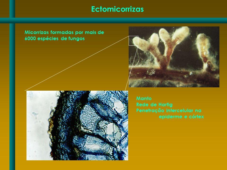 Ectomicorrizas Micorrizas formadas por mais de 6000 espécies de fungos