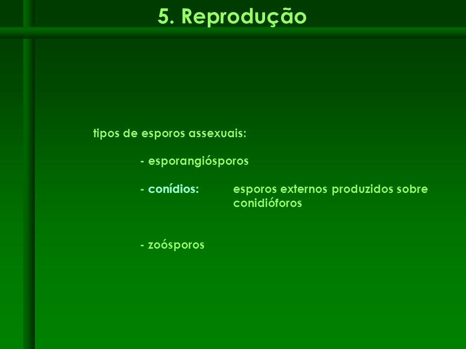 5. Reprodução tipos de esporos assexuais: - esporangiósporos