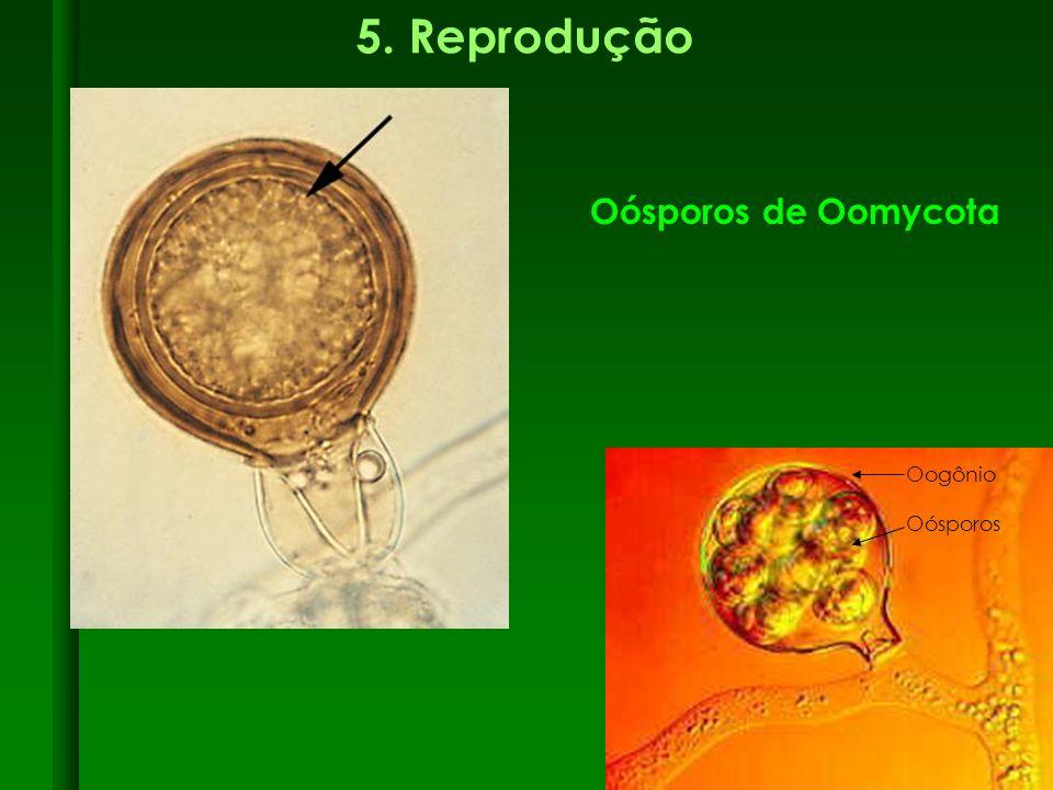 5. Reprodução Oósporos de Oomycota Oogônio Oósporos