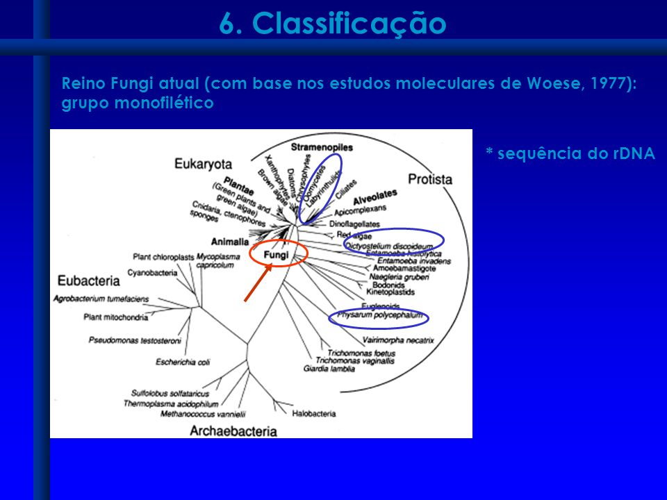 6. Classificação Reino Fungi atual (com base nos estudos moleculares de Woese, 1977): grupo monofilético.